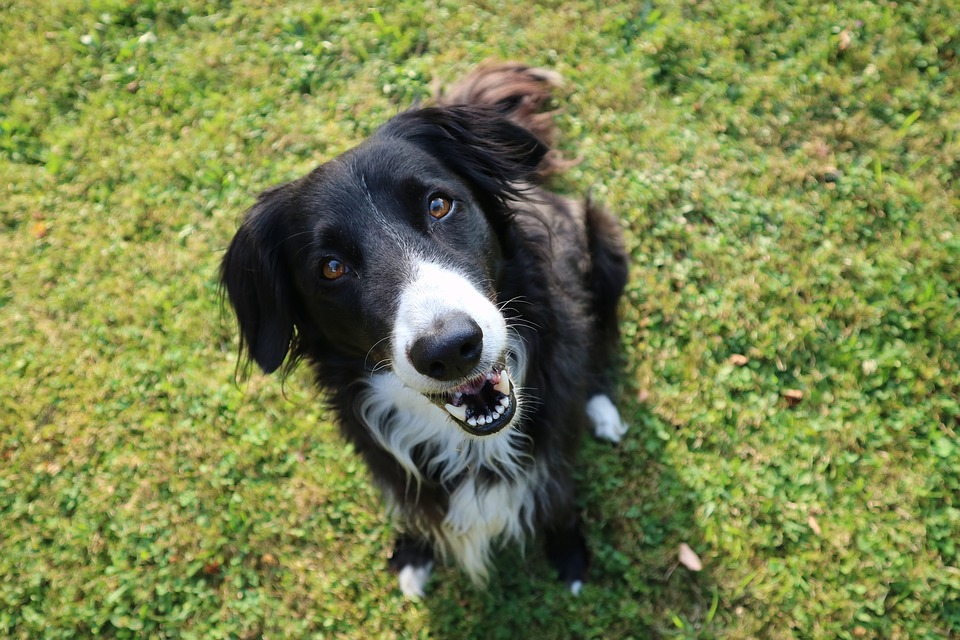 Dog, Boarder Collie looking at camera