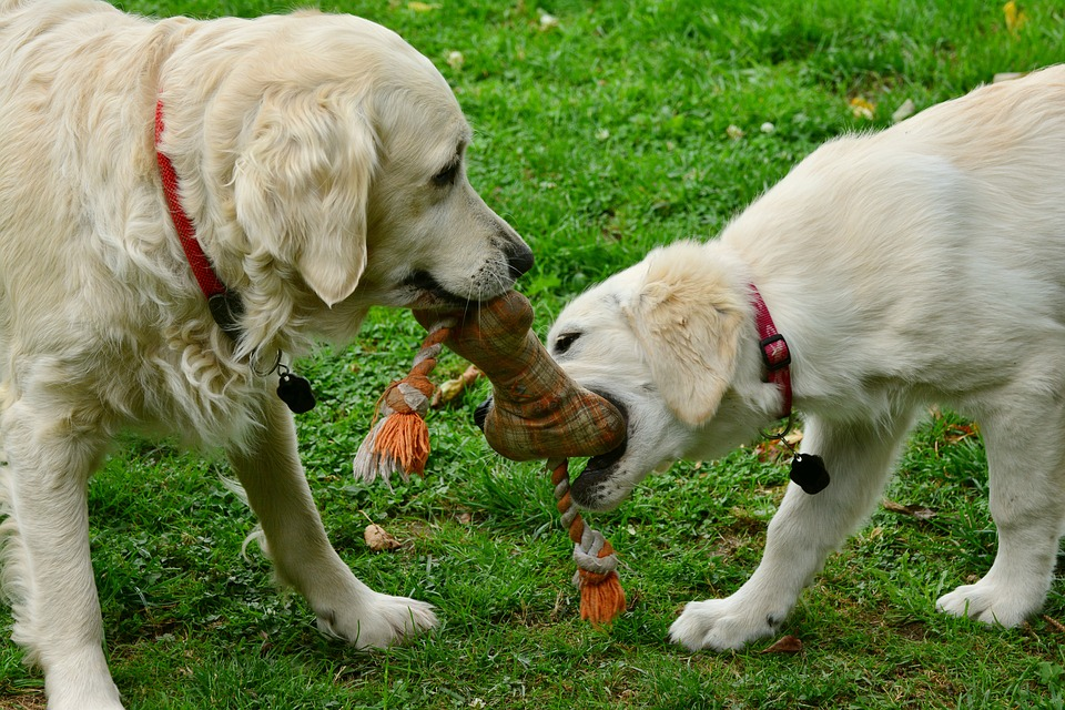 Two dogs sharing toy